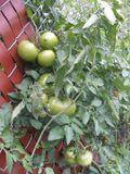 Moregreentomatoes