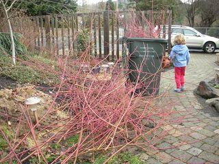 Pruningdogwoods