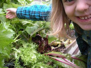 Chicory2011